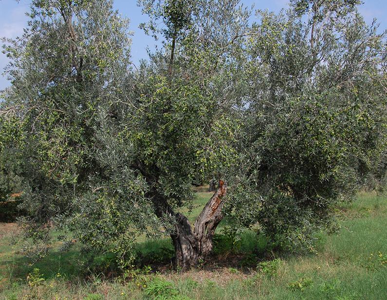 Casa Vacanza Piccalumachelle - Maremma Toscana - L'uliveto